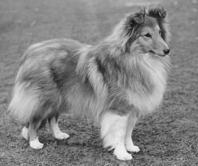 Lucky Luke, Berger Shetland