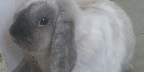 Les lapins «Bélier nain»
