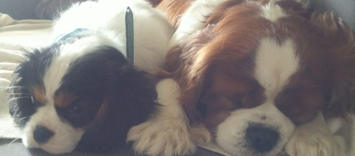 Myrtille et Happy Days, Cavaliers King Charles