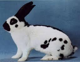 Les lapins géants «papillon»